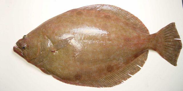 Broad flounder ( Paralichthys squamilentus ) Picture