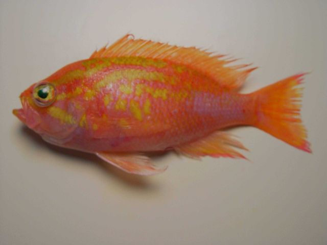 Roughtongue bass ( Pronotogrammus martinicensis ) Picture