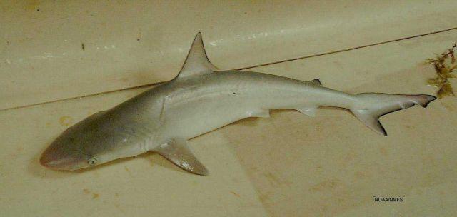 Atlantic sharpnose shark ( Rhizoprionodon terraenovae ) Picture