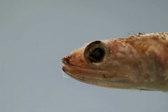 Snout of Shortjaw lizardfish ( Saurida normani ) Picture
