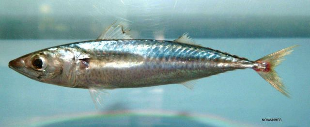 Pacific chub mackerel ( Scomber japonicus ) Picture