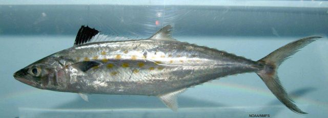 Spanish mackerely ( Scomberomorus maculatus ) Picture
