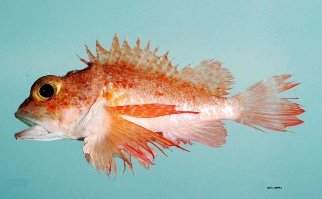 Longfin scorpionfish ( Scorpaena agassizii ) Picture