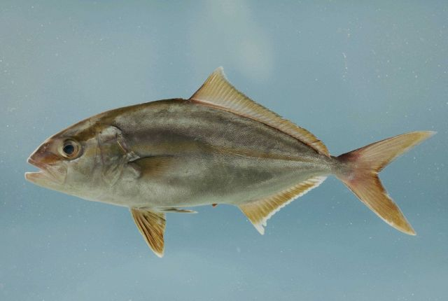 Adult greater amberjack ( Seriola dumerili ) Picture