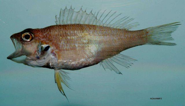 Blackear bass ( Serranus atrobranchus ) Picture
