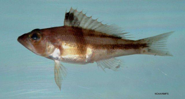 Tattler ( Serranus phoebe ) Picture