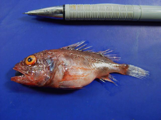 Deepwater scorpionfish ( Setarches guentheri ) Picture