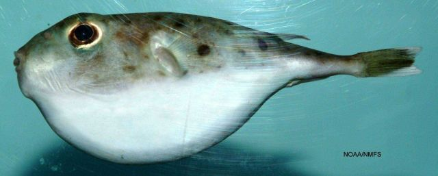 Blunthead puffer ( Sphoeroides pachygaster ) Picture