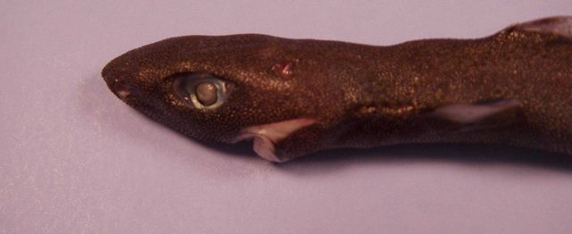 Spined pigmy shark ( Squaliolus laticaudus ) Picture
