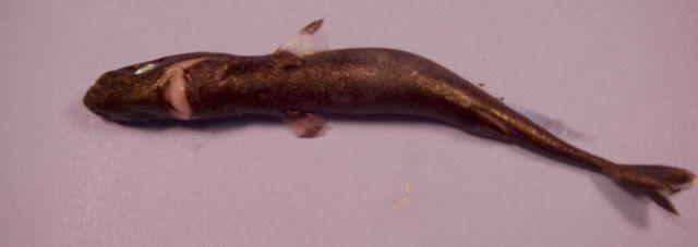 Spined pigmy shark ( Squaliolus laticaudus ) Picture