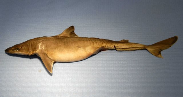 Shortspine dogfish or shortspine spurdog ( Squalus mitsukurii ) Picture