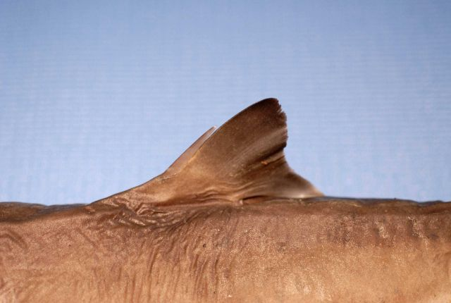 First dorsal fin of sortspine dogfish or shortspine spurdog ( Squalus mitsukurii ) Picture