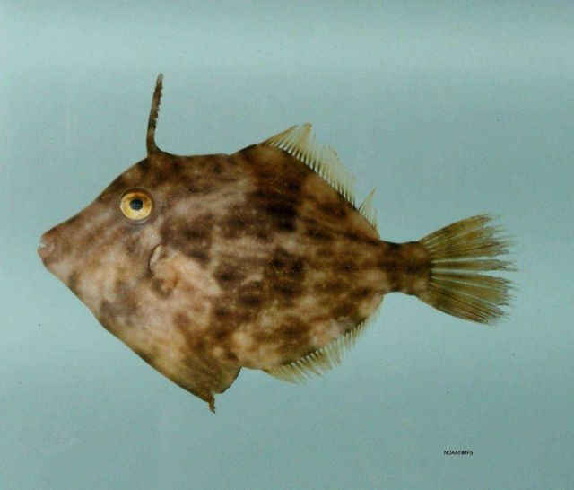 Planehead filefish ( Stephanolepis hispida ) Picture