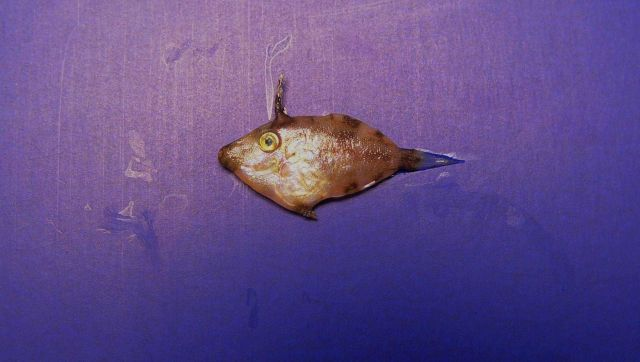 Pygmy filefish ( Stephanolepis setifer ) Picture