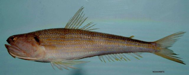 Snakefish ( Trachinocephalus myops ) Picture