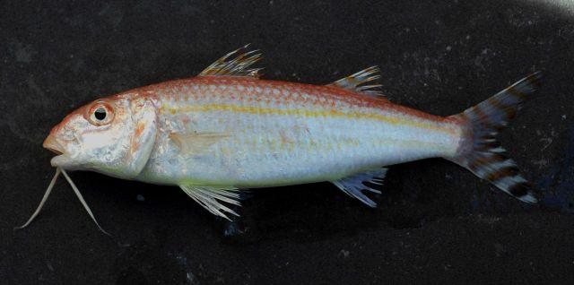 Dwarf goatfish ( Upeneus parvus ) Picture