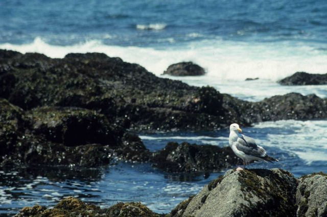 A California seagull (Larus californicus) perched on an algae covered rock. Picture