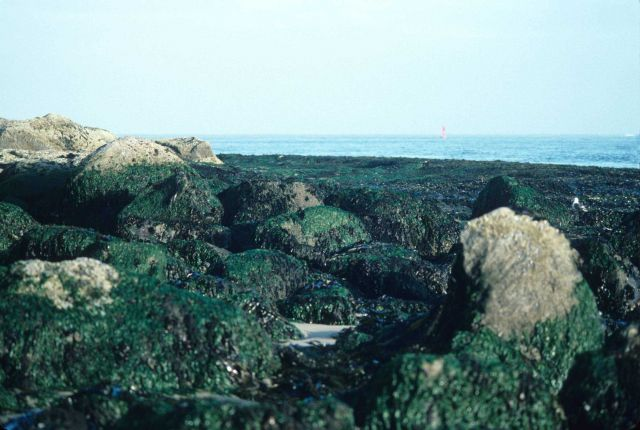 Green algae covered boulders dominate this rocky coast scence Picture