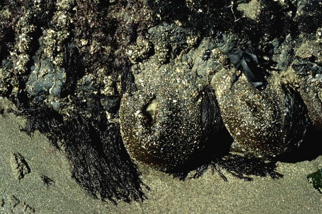 Large sea anemones (Anthopleura xanthogrammica) closed for protection against drying up at low tide Picture