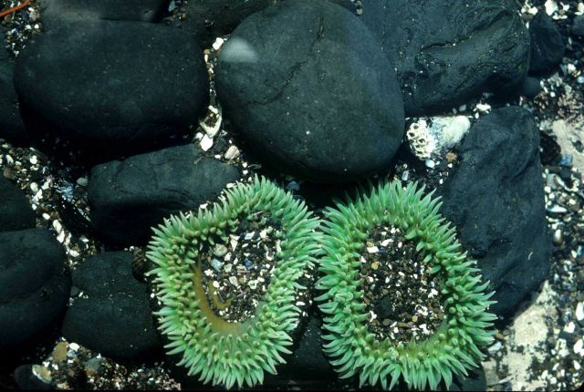 Two large green sea anemones with rounded cobbles Picture