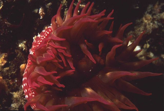 A red sea anemone (Tealia lofotensis) Picture