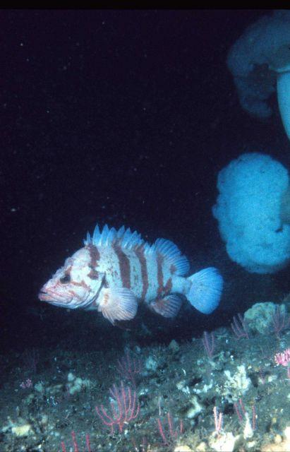 Tiger rockfish (Sebastes nigrocinctus) Picture
