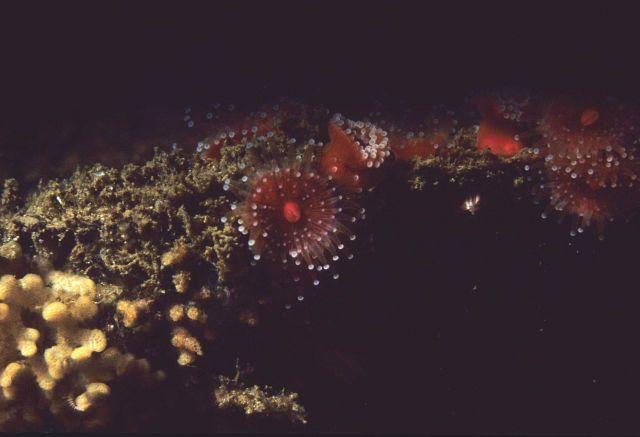 Strawberry sea anemones (Corynactis californica) Picture