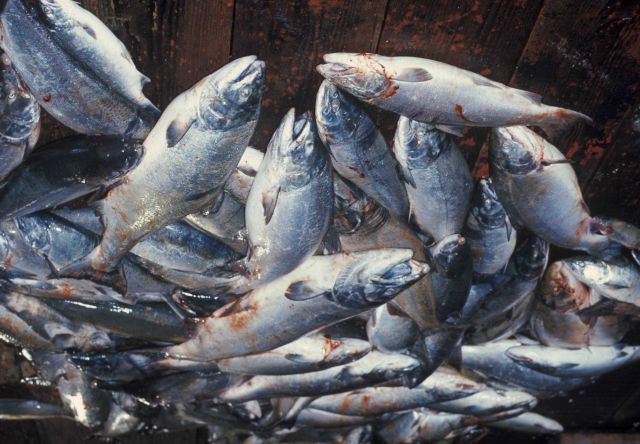 Freshly caught salmon on deck of fishing vessel Picture