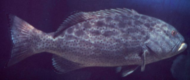Black grouper Picture