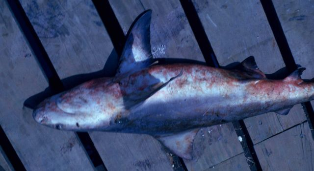 Bull shark on deck (Carcharhinus leucas) Picture