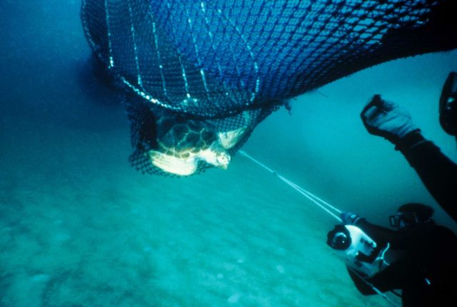 Divers observing turtle escaping from turtle excluder device Picture