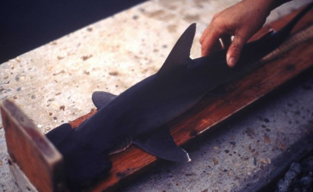 Scientist measuring small shark Picture