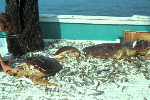 Loggerhead turtles killed as result of shrimp bycatch prior to introduction of turtle excluder devices. Picture