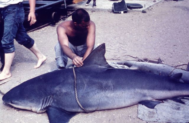 Measuring a bull shark caught by scientists at the BCF Sandy Hook Laboratory Picture