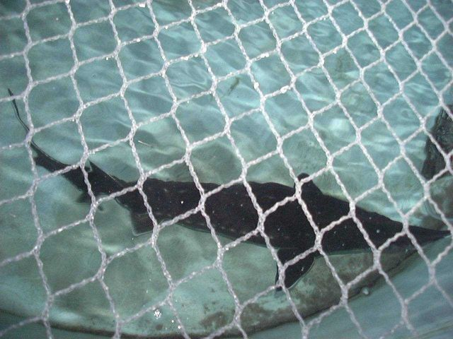 Atlantic sturgeon held for broodstock in recirculating tank Picture