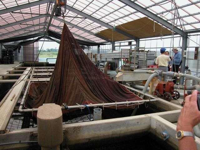 Freshwater eel, Anguilla japonica, sorting and transport device Picture