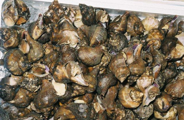 Buccinum sp (whelk) for sale at Shiogama market in Japan. Picture