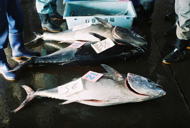 Freshly caught Tuna being sorted and marked for shipment to Japanese seafood markets. Picture