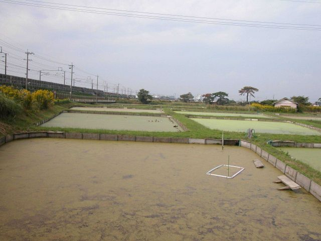View of turtle growout ponds at the Hattori-Nakamura soft-sheled turtle farm. Picture