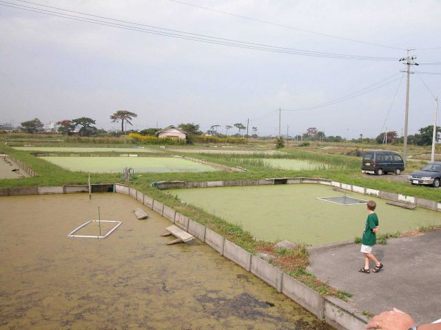 View of growout ponds at the Hattori-Nakamura soft-shelled turtle farm. Picture