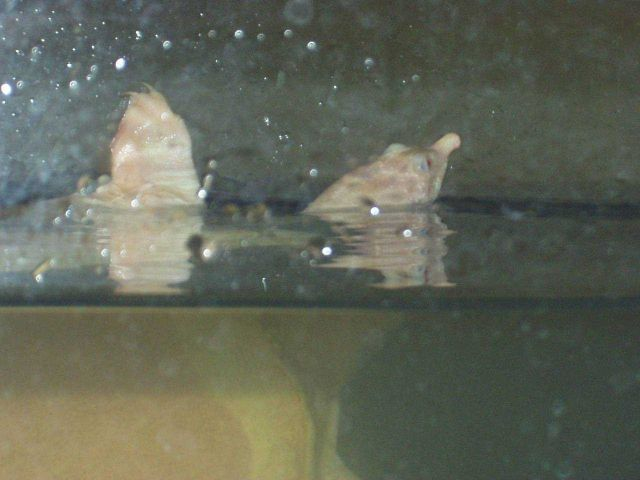 Rare Soft-shelled albino turtle at the Hattori-Nakamura soft shelled turtle farm Head and front leg are above water line. Picture