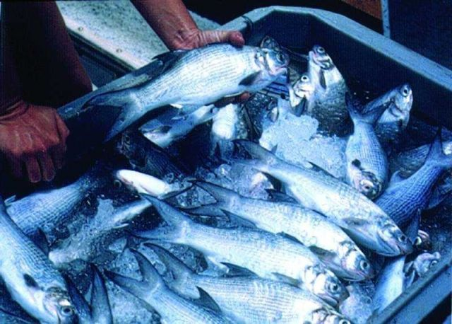 Moi fish which have been harvested from an offshrore cage and put on ice for market in Hawaii Picture