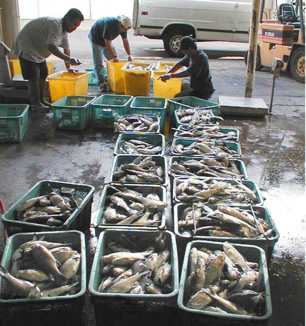 Moi, Pacific threadfin, being sorted for market after harvest from an offshore aquaculture cage in Hawaii. Picture