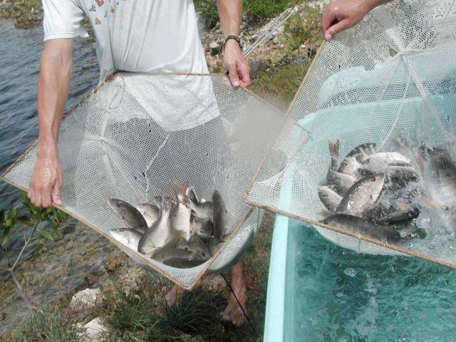 Juvenile amberjack being transported to growout ponds Picture