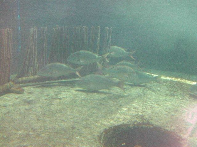 Picture of snapper broodstock orienting to artificial grass at the bottom of a recirculating tank Picture