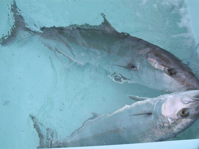Close-up of amberjack broodstock upon arrival at the University of Miami aquaculture reasearch laboratory in the Florida Keys Rosenstiel School of Mar Picture