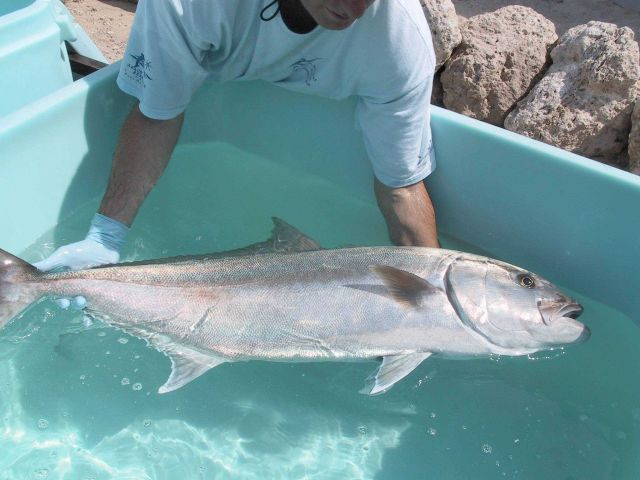 Amberjack broodstock upon arrival at the University of Miami aquaculture reasearch laboratory in the Florida Keys Rosenstiel School of Marine and Atmo Picture