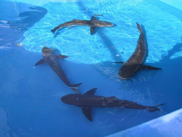 Adult cobia broodstock swimming in a circle in their holding tank at the Florida research laboratory Picture
