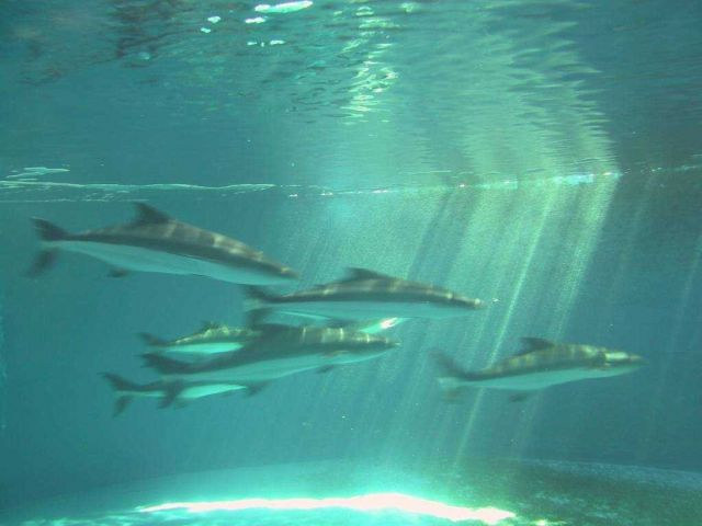 A good and rare photo through a tank window of 4 adult cobia swimming Picture