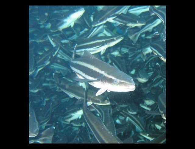 Closeup view of cobia that were being fed and raised in an offshore cage in Culebra, Puerto Rico Picture